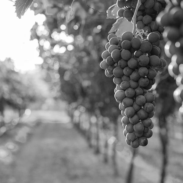 Grappe de raisins dans vignes